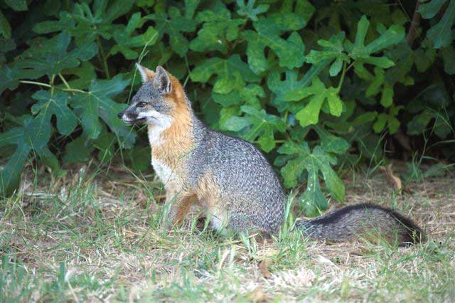 Friends of the Island Fox: Images of Island Fo on fox landing, fox running away, fox and coyotes pets, fox and their pups, fox sounds bark, fox north america, fox shedding, fox stealing food, fox looking up, fox pin, fox digging, fox tail up, fox reading, fox charm, fox aggressive behavior, fox being chased, fox behavioral and characteristics, fox and hedgehog, fox crying sound, fox and hen,